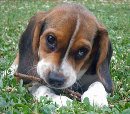 dachshund | Beagle Dachshund Mix Puppies | Dogs | Beagle ...