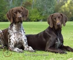 german shorthaired pointer - Google Search