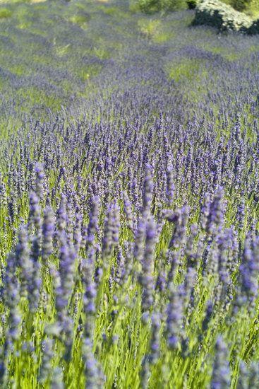 So pretty. #lavendar fields in croatia.