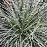 (P14) Carex oshimensis 'Everest' Evergreen perennial grass A dense, tufted grass forming a mound of narrow, arching, glossy, dark green leaves with white margins and lax stems bearing brown flower spikes in summer.