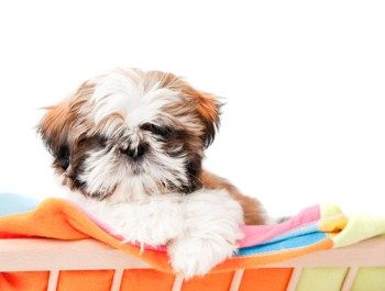 shih tzu anal gland 25 best ideas about shih tzu for sale on pinterest shih 7756