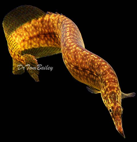 Aquarium eels at starlight spiny eel for Freshwater fish for sale online