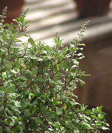 Ocimum tenuiflorum - Thai holy basil.