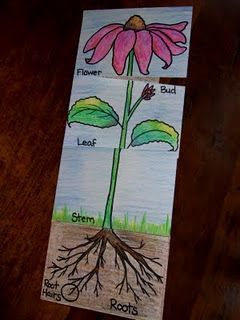 Teach the parts of a plant. With a few details added inside, this would make a great Foldable for Life Science!