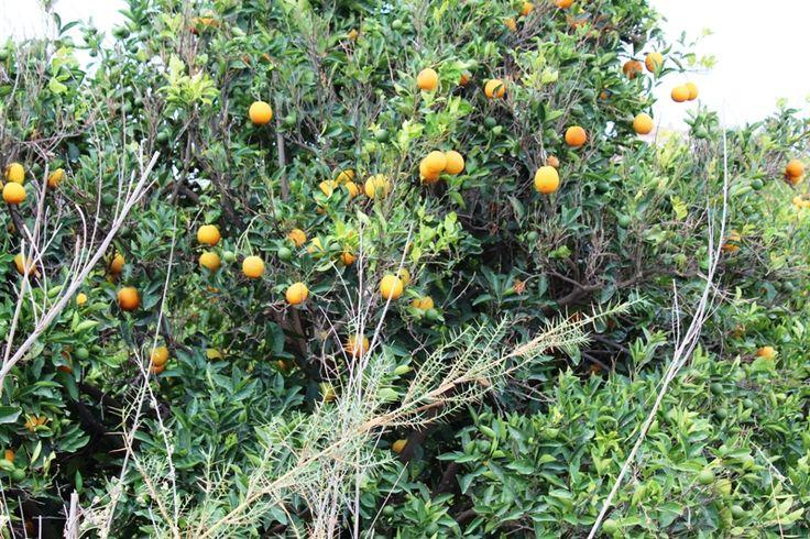Die besten 25 orangenb ume ideen auf pinterest for Pflanzen innenraum