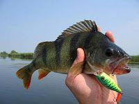 Рыбалка видео: Ужение окуня на спиннинг. Диалоги о рыбалке видео.