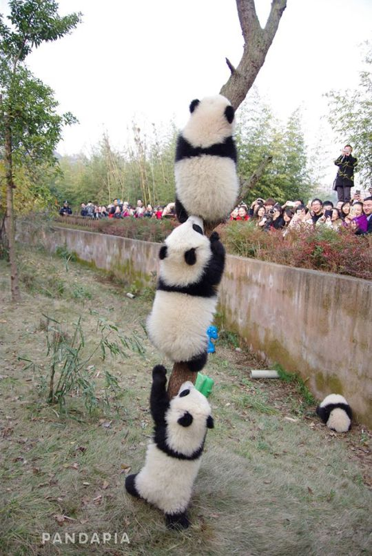 photo by Pandapia Panda Totem Pole- I like the one laying down by the wall. LOL