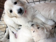 In this Feb. 1, 2013 photo, an English golden retriever puppy sits with her litter in Fond du Lac, Wis. She will be trained to become a therapy dog for a teenager who was severely injured in a fall from a Wisconsin amusement park ride in 2010. Actor Charlie Sheen says he's donating $10,000 for the dog's training and other expenses. (AP Photo/Carrie Antlfinger)