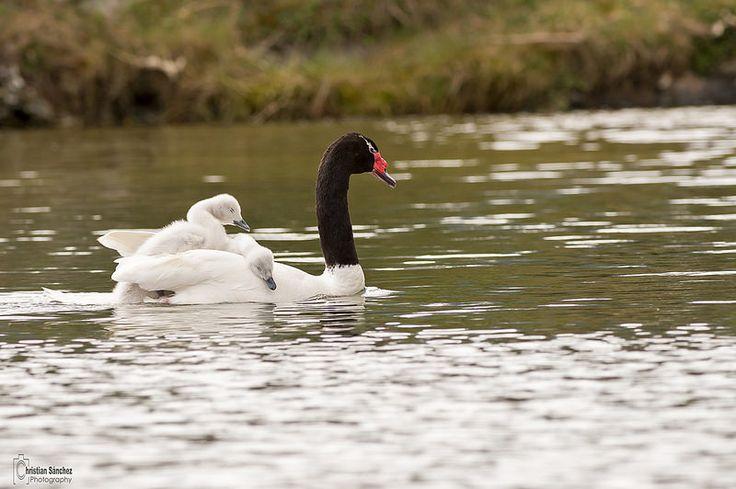 cisne de cuello negro  black-necked swan (Cygnus melancoryphus