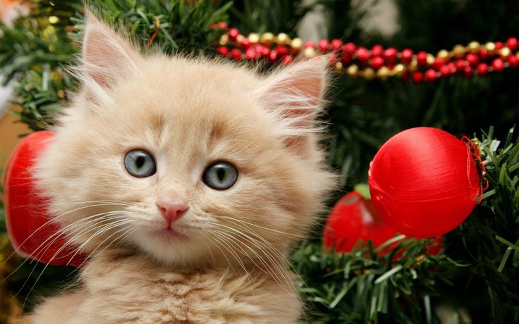 Please help me convince my Dad to get me a kitten for Christmas.