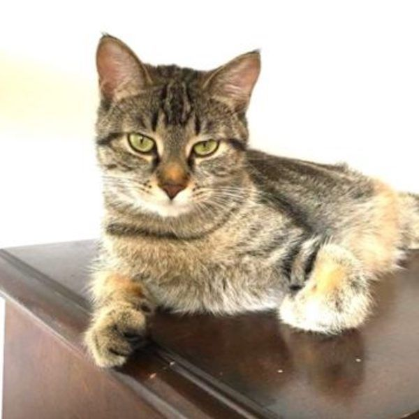 Khepri Is A Loving Mom Who Is Gentle When Handled And Is Looking For A Forever Home Cat Adoption Dog Cat Cat Rescue