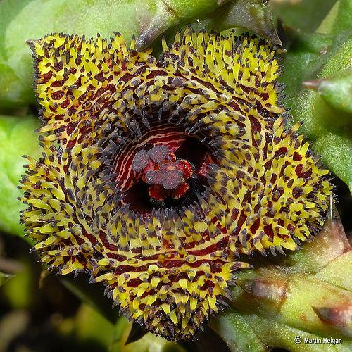 Huernia hystrix subsp. parvula flower | Flickr - Photo Sharing!