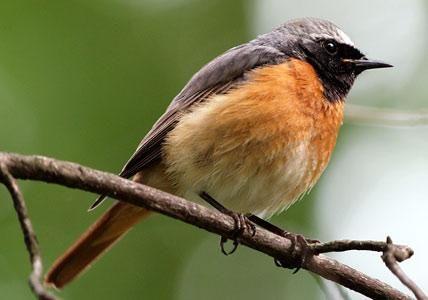 Gartenrotschwanz. Der Gartenrotschwanz ist etwa 14cm groß, das Männchen ist sehr auffällig: Gesicht und Kehle sind schwarz, die tirn weiß, die Flügel braun. Der Bauch und der Schwanz sind rostrot.  Das Weibchen ist hingegen unscheinbar, braun mit einer hellen Unterseite und rotem Schwanz.  Insekten und Spinne bilden die Hauptnahrung des Gartenrotschwanzes. Er ist ein europäischer Zugvogel, der Parks, Gärten, Lichtungen und Waldränder liebt. Seinen Winter verbringt er ins West- und…