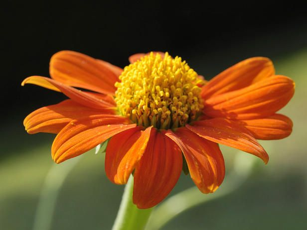 Beloved by Butterflies - Mexican sunflower. A tough plant for hot, dry climates, this annual typically reaches five to six feet tall and dominates the garden.Gardens Ideas, Weather Continuous, Outdoor, Plants, Garden Tips, Enjoy Colors, Mexicans Sunflowers, Mexicans Sunflower On, Dan Gardens