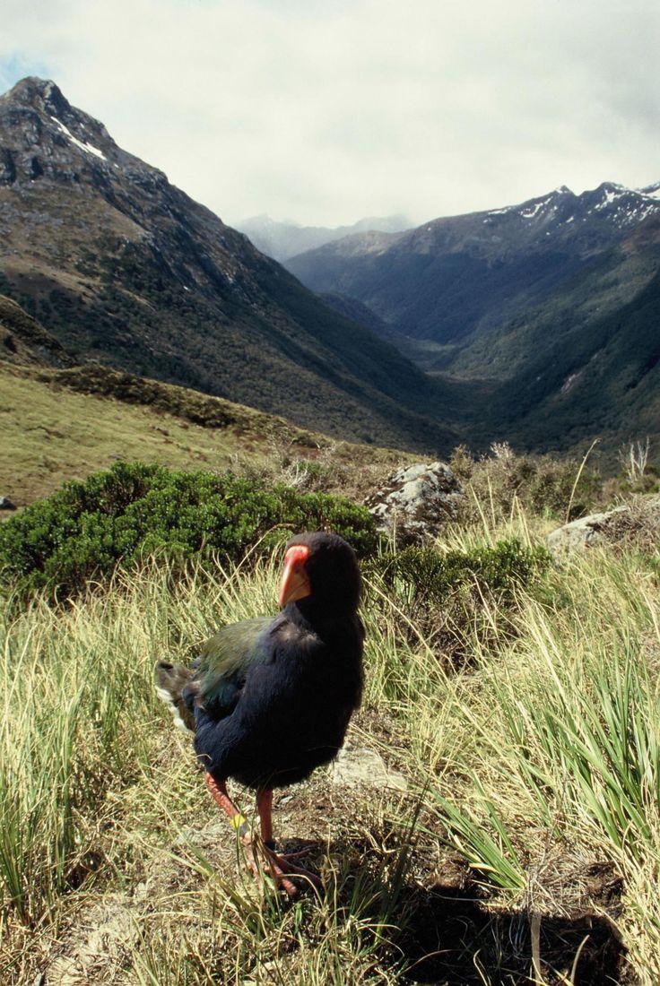 South Island takahe   New Zealand