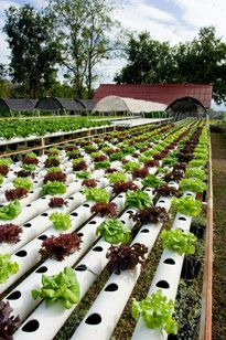 Home Grown Lettuce via the hydroponic method.