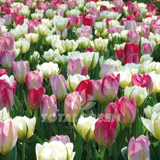 #Trend #Flowerbulbs #Landscaping #Landscape #Flowers #Colors #Colorful #Bulbs #Gardening #Garden #SpringGarden #Spring #FallPlanting