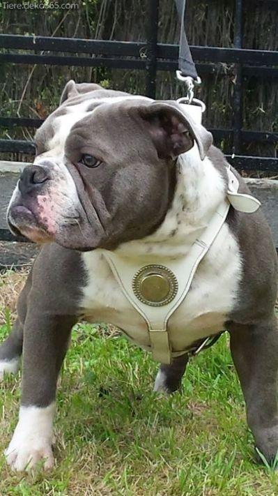 Beste Weisse Englische Bulldogge Englische Bulldogge Bulldogge