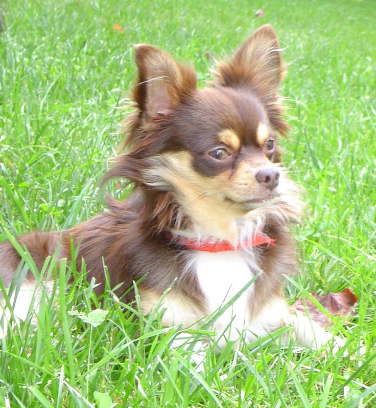 Long Haired Chihuahua For Sale