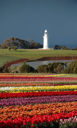 The lighthouse at Table Cape tulip farm, Tasmania, Australia. The BEST bulbs come from there!