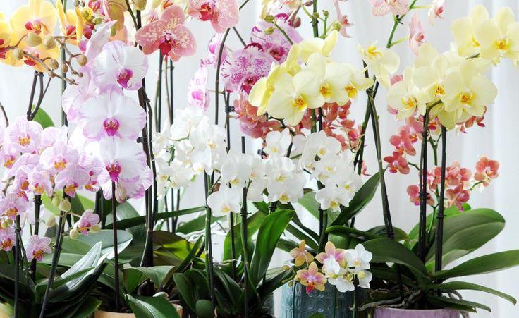 Die Orchideenpflege ist nicht schwierig, wenn man weiß, was die Pflanzen brauchen. Wir erklären Ihnen, wann und wie Sie Ihre Orchideen zu Hause richtig düngen.