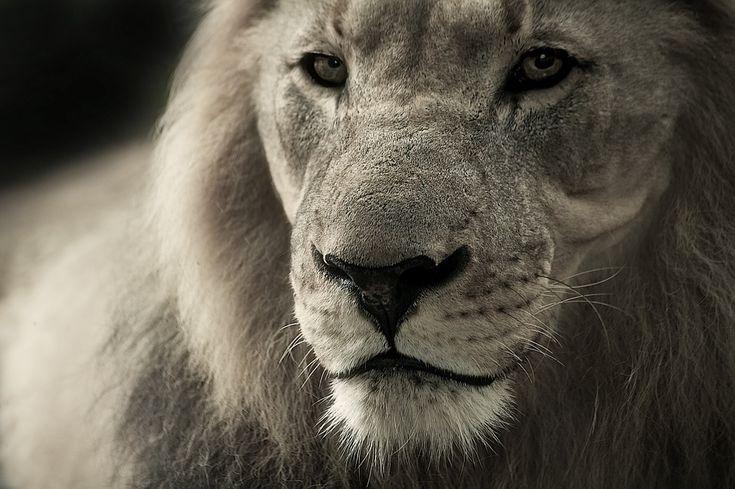 Az oroszlán fogászati problémákkal küzdött… szavak nélkül hagyott, amit a fogorvos tesz vele! - VIDEÓ - https://www.hirmagazin.eu/az-oroszlan-fogaszati-problemakkal-kuzdott-szavak-nelkul-hagyott-amit-a-fogorvos-tesz-vele-video