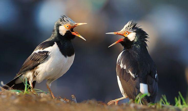 Cara Membuat Jalak Suren Gacor Lengkap Dengan Perawatan Harian Jalak Burung Betina