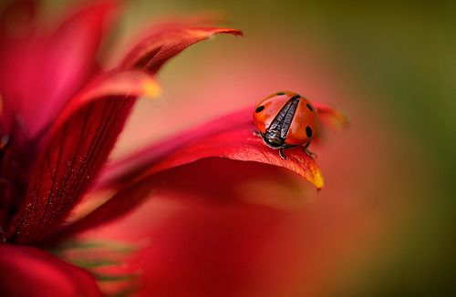 Bon Mon Dieu: Flowers Photography, Mandy Disher, Beautiful, Red Flowers, Ladybugs, Lady Bugs, Photography Blog, Animal Photos, Simply Red