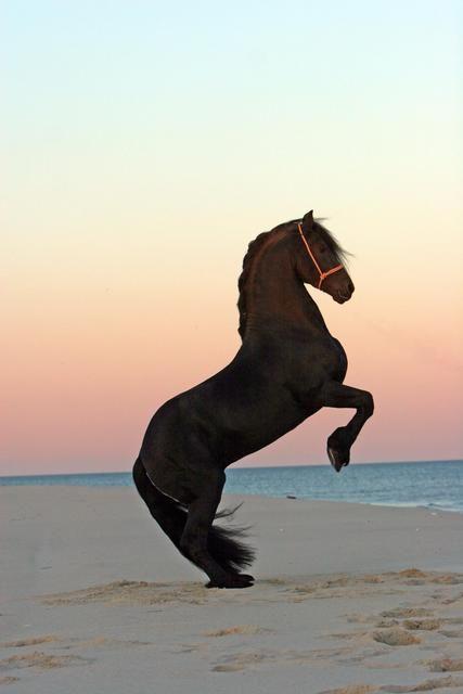 horseSea Horses, Sunsets Beach, Black Stallion, Beach Sunsets, Beautiful Hors, At The Beach, Black Horses, Beautiful Creatures, Animal