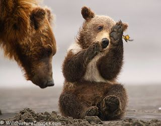 Funny grizzly bear cubs  Funny Animal