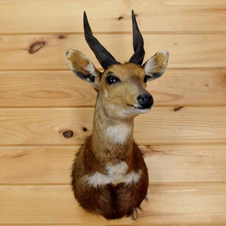 African Cape Bushbuck Taxidermy for Sale - SW3653