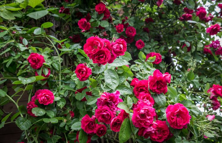 If you plan to start growing roses in zone 8 gardens, you'll find plenty of great candidates. More than 6,000 rose cultivars are available in commerce. Click here for information about selecting zone 8 rose varieties for your garden.
