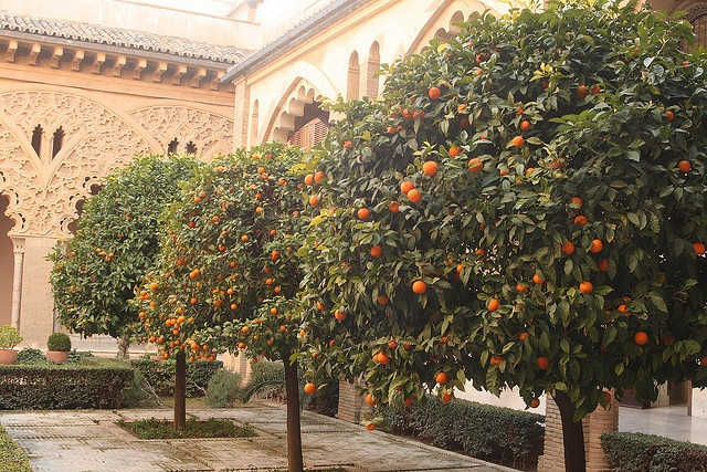 Citrus trees, Palacio de la Aljaferia, Aragon by Matthew Black