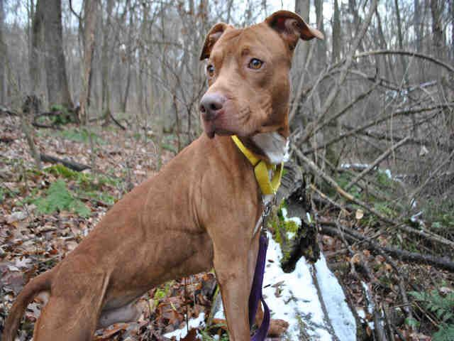 Colbee, a young, energetic, American Pit Bull Terrier, is looking for a very special family. Colbee needs a family that is willing to put time into his care and training to help Colbee be the best dog he can be.Colbee never received any kindness...