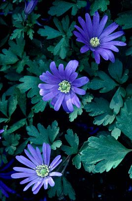 Anemone blanda. Middle of border. Full sun. These should be at the border edge in full sun or part shade. Buy more bulbs and plant in correct place. Perennial. H4