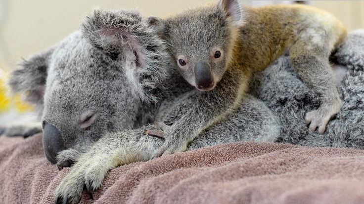 """Baby Koala  Mothers give birth and raise only one baby koala at time. A newborn koala baby is called a """"joey"""" and does not resemble an adult at all, since it is born blind with undeveloped features. Upon birth the joey makes its way to the mother's pouch and attaches itself inside. It then develops its eyes, legs, and fur. It lives in the mother's pouch for about six months. When it emerges from the pouch it takes on the familiar cute and cuddly appearance of an adult."""