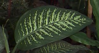 WARNING!  A house plant toxic to humans. I wouldn't allow a pet to eat it either.  A beautiful plant, Diffenbachias are present in many homes. 'Had diffenbachia in Montana that grew over the kitchen doorway. 'Cut it back about 3 times before it got unkempt.