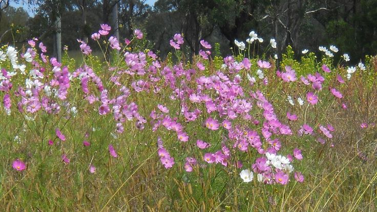 broadcast/sow  cosmos seeds in waste areas for cheery colour & insect attraction