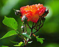 Květiny Zdarma ke stažení tapety obrázků 1280 x 960 Růže