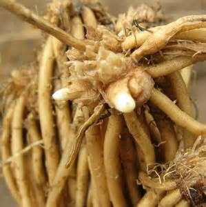 asparagus roots