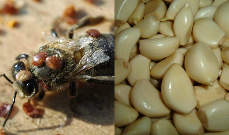 Ορεινή Μέλισσα: Καταπολέμηση βαρρόα με σκόρδο: Μια απίστευτη ιδέα με εκπληκτικά αποτελέσματα