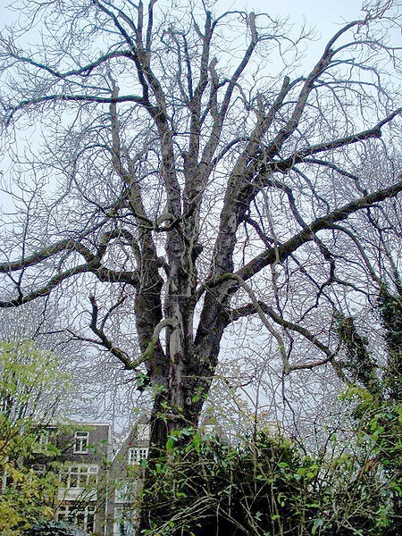 The Anne Frank Tree in 2006. Mentioned three times in Anne's dairy. Anne loved looking out of the attic window at this tree. (Unfortunately this tree has recently been removed, because of the fact that it could fall down)