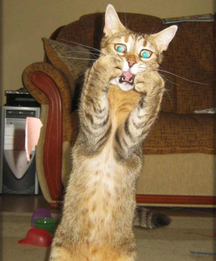 Best Shocked Cat Ideas On Pinterest Behaved Meaning Kittens - 27 cats forgot how to cat