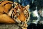 schilderijen, natuur, dieren, digitale, tijgers, fotografie