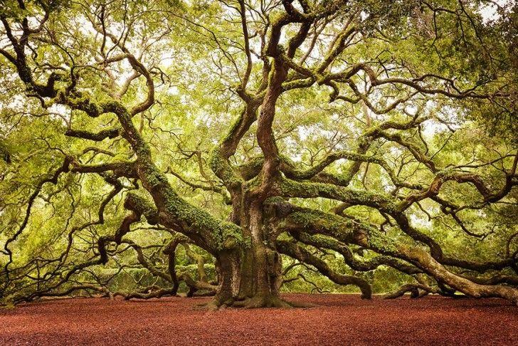 La quercia Angelo conta tra i 1400 e i 1500 anni, durante i quali ha superato i 20 metri di altezza. Si trova nel South Carolina. The Angel oak counts among the 1400 and 1500 years, during which he passed the 20 meters high. Located in South Carolina.
