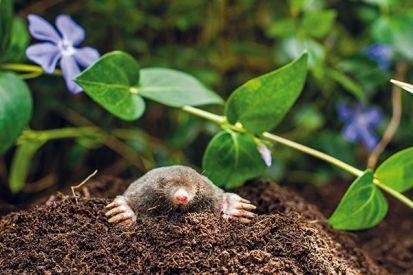 Ako vyhnať zo záhrady krtka, hraboše a ďalších škodcov