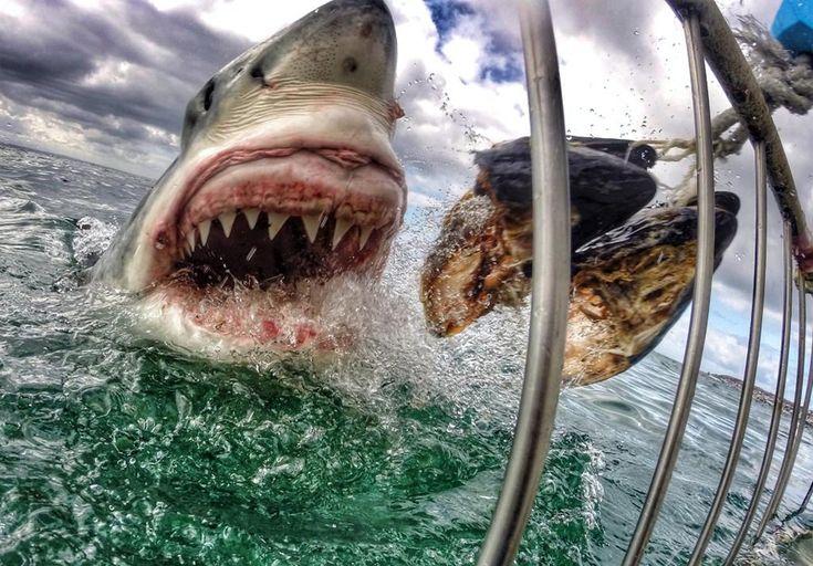 intensa cebo para tiburones