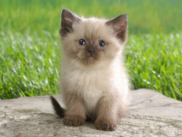 Persian himalayan ragdoll kittens