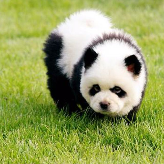 Panda chow chow!! Awesome I'd love a panda chow chow I love pandas and chow chows haha! *********shame they don't exist!!!!