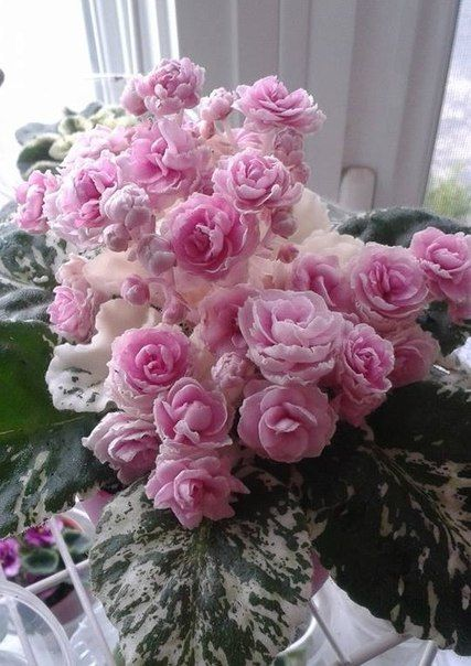 African Violet - Rose Bouquet